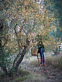 Olives being harvested