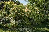Gelbe Strauchrose im Beet
