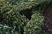 Knotengarten mit japanischer Hülse