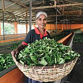 Arbeiterin auf einer Teeplantage in Sri Lanka