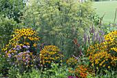 Gelb-violettes Beet mit Sonnenhut 'Goldsturm', Duftnessel, Eisenkraut, Fenchel, Tomaten, Chili und Würz-Tagetes