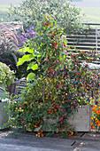 Holzkasten mit Tomaten und Chili-Pflanze 'Red Scotch Bonnet'