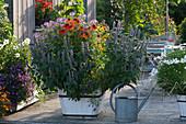 Duftnessel, Scheinsonnenhut 'Kismet Orange' 'Conetto Banana' und Spinnenpflanze im Holzkübel