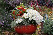 Rote Schale mit Herbstchrysantheme, Lampionpflanze und Zauberschnee