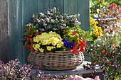 Korb herbstlich bepflanzt mit Herbstchrysantheme, Strauchveronika, Lampionblumen und Stiefmütterchen