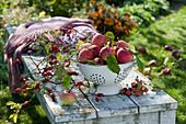 Sieb mit Äpfeln auf Bank im Garten, Zweig mit Hagebutten