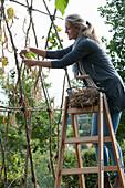 Frau pflückt getrocknete Stangenbohnen