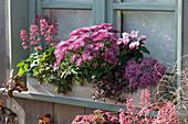 Holzkasten mit Chrysantheme, Purpurglöckchen, Alpenveilchen, Polster-Fetthenne 'Superstar' und 'Fuldaglut'
