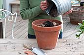 Mignon-Dahlie 'Sneezy' in Tontopf einpflanzen, Dahlien-Knolle mit Erde bedecken