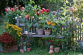 Topf-Arrangement am Gartenzaun mit Sonnenbraut, Chili-Pflanzen und Tomate, Beet mit Dahlien und Prunkwinde