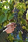 Frau erntet Weintrauben 'Muscat Bleu'