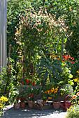 Kasten mit Quamoclit, Scheinsonnenhut, Grünkohl, Chili und Kapuzinerkresse, Töpfe mit Chilipflanzen und Salbei als Sichtschutz