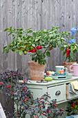 Chili-Pflanze 'Red Scotch Bonnet' (Schärfegrad 10) und 'Bolivian Rainbow' (Schärfegard 7)