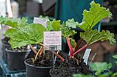Rhabarberpflanzen in Töpfen