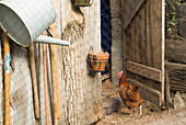 Chickens in front of a coop