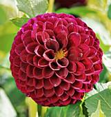 Dahlia 'Marston George' flower