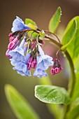 Virginia bluebell (Mertensia virginica) flowers