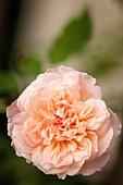Rose (Rosa 'Duquesa') flower