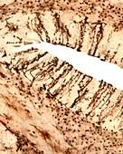 Cerebellar cortex, light micrograph