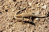 Be'er Sheva fringe-fingered lizard