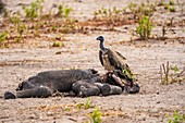 Vultures feeding on dead elephant