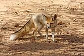 Rueppell's fox