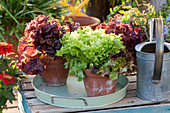 Roter und grüner Pflücksalat in Tontöpfen