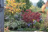 Herbstbeet mit Aster, Schneeball und Ahorn