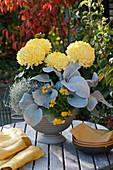 Deko-Chrysantheme 'Alpaga', Kreuzkraut 'Angel Wings', Stacheldrahtpflanze und Hornveilchen