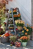 Platzsparende Herbstdekoration mit alter Holzleiter als Regal: Chrysanthemen, Dahlie, Sukkulenten, Naschzipfel 'Medusa' und Körbe mit Äpfeln, Kürbissen und Maronen