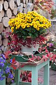 Chrysantheme 'Etna' mit Ranken vom wilden Wein dekoriert auf Tablett mit Tulpenzwiebeln