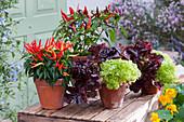 Naschzipfel 'Medusa', Chili 'Pretty in Purple' und Pflücksalat in Tontöpfen