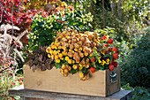 Chrysantheme, Lampionblume, Johanniskraut Magic Marbles 'Ivory', Purpurglöckchen und Hornveilchen im Holzkasten