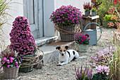 Chrysantheme Dreamstar 'Pan Lilac', 'Cupido' als Pyramide gezogen, Ranken vom wilden Wein als Manschette, Knospenheide, Alpenveilchen und Stiefmütterchen, Hund Zula
