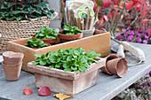 Feldsalat in Terracotta-Kasten und Tontöpfen