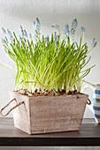 Grape hyacinths in pots