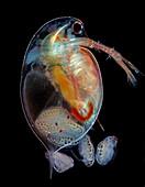 Daphnia water flea giving birth, light micrograph