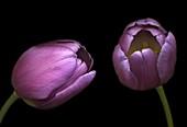Tulip (Tulipa 'Cartouche') flowers