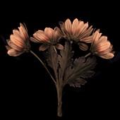 Marguerite (Argyranthemum frutescens) flowers