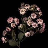 Brazilian jasmine (Mandevilla sanderi) flowers
