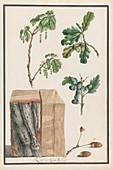 Oak tree, 18th-century botanical illustration