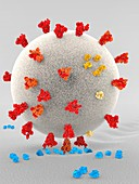 Covid-19 coronavirus binding to receptors, illustration