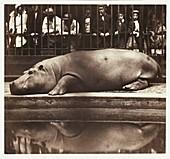 Hippopotamus at London Zoo, 1852