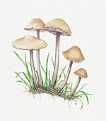 Fairy ring champignon, illustration