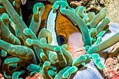 Clark's anemonefish and anemone, Komodo National Park, Indon