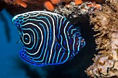Juvenile emperor angelfish on reef, Bali, Indonesia