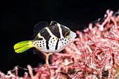 Juvenile blacksaddle filefish on reef, Bali, Indonesia