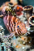 Threadfin hawkfish on reef, West Papua, Indonesia