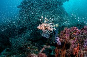 Common lionfish on reef, Bali, Indonesia