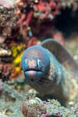 Greyface moray eel on reef, Bali, Indonesia